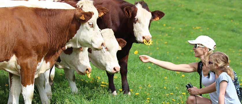 Family feeding cows in Morzine.jpg